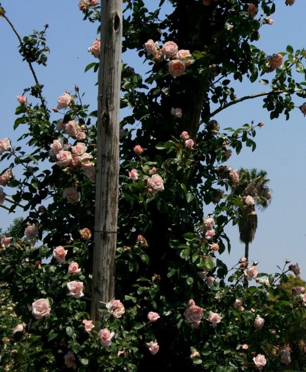 Rose Rambler