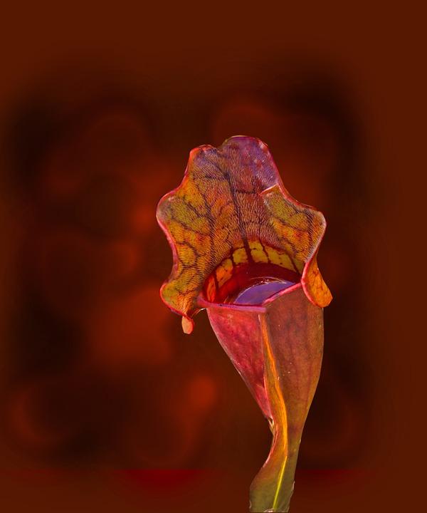 Sarracenia. Nella coppa si ferma l'acqua che attira gli insetti