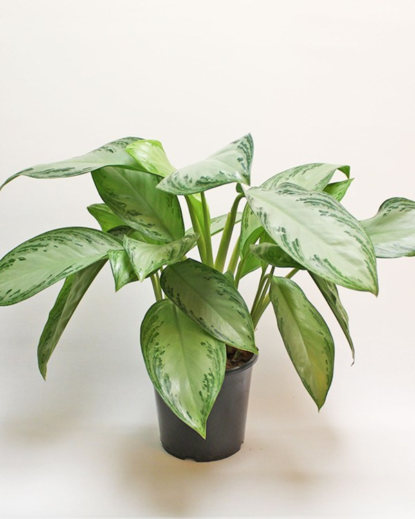 Chinese Evergreen L