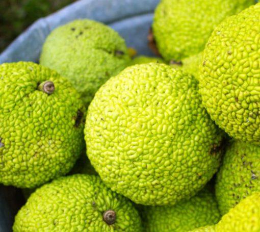 Hedge Apples (Natural Repellent)