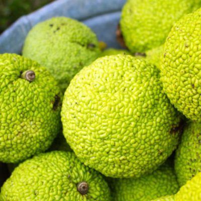 Hedge Apples (Natural Repellent)