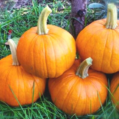 Pie Pumpkins (New England)