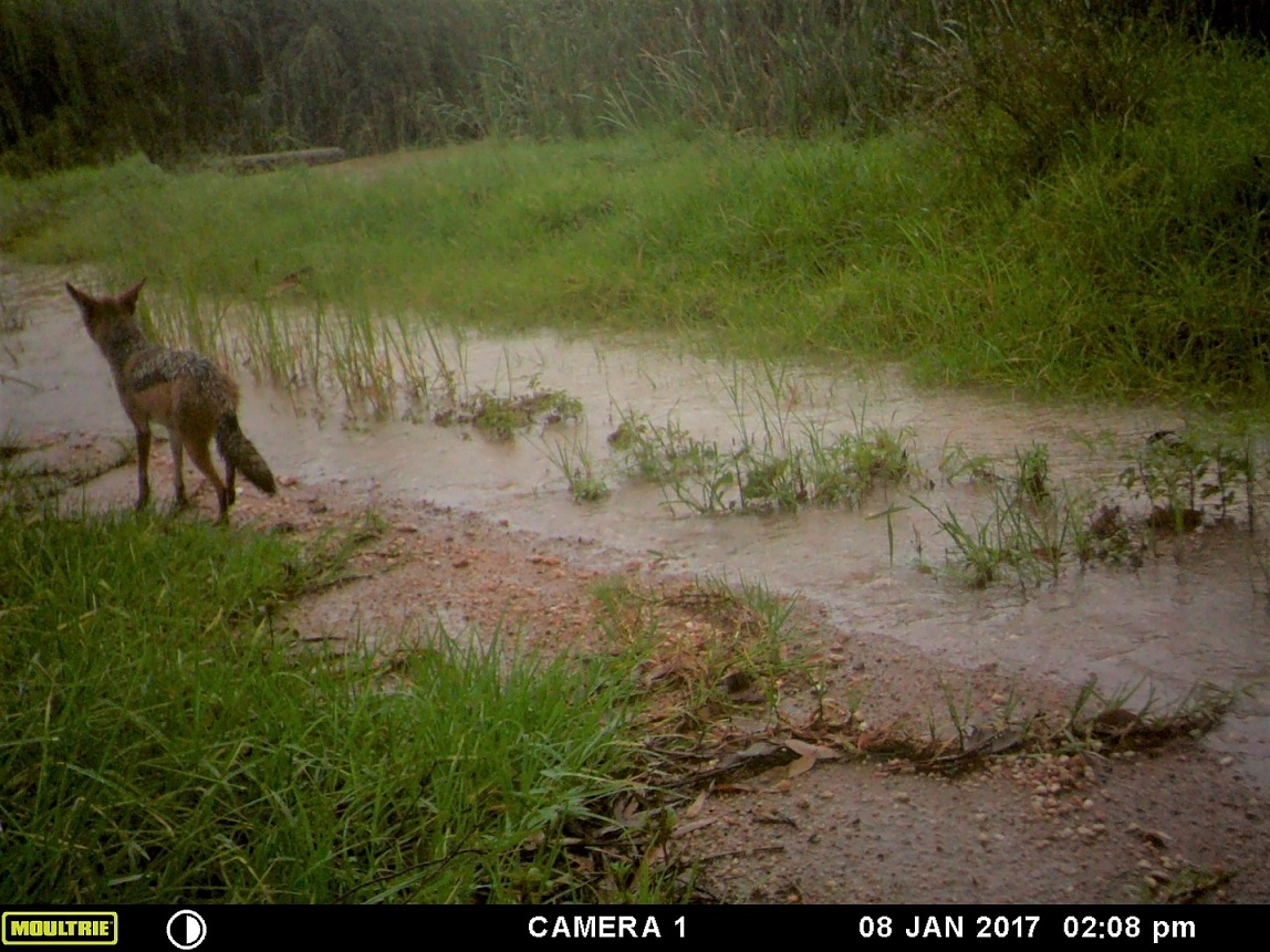 Photo of Black backed Jackal in Westlake wetland, Modderfontein, January 2017