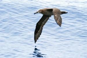 Black-footed Albatross. Photo credit: Don Doolittle