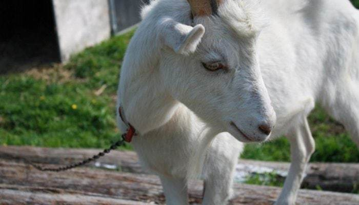 Mow, our beloved goat