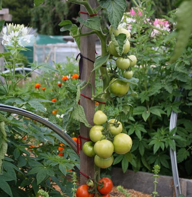 summer tomatoes and companions