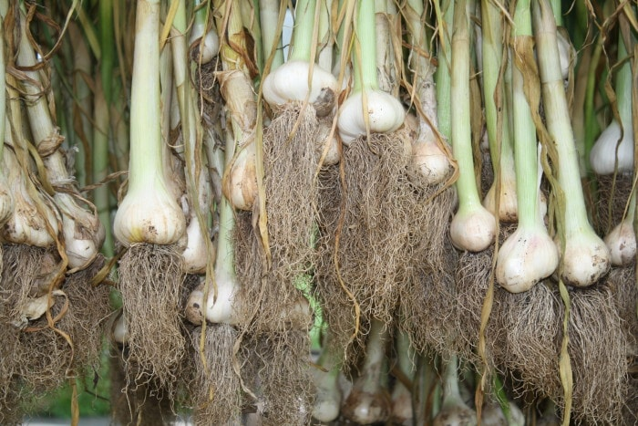 how to grow garlic; garlic curing