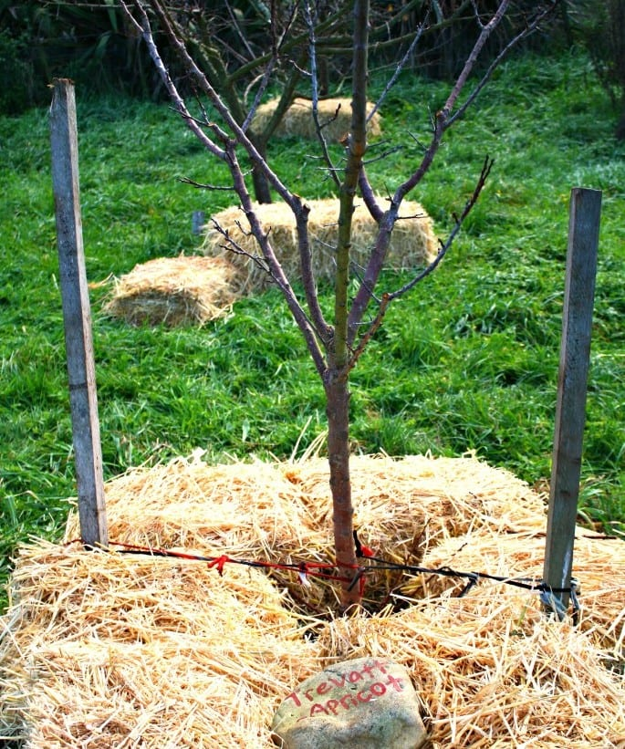 Transplanted Apricot