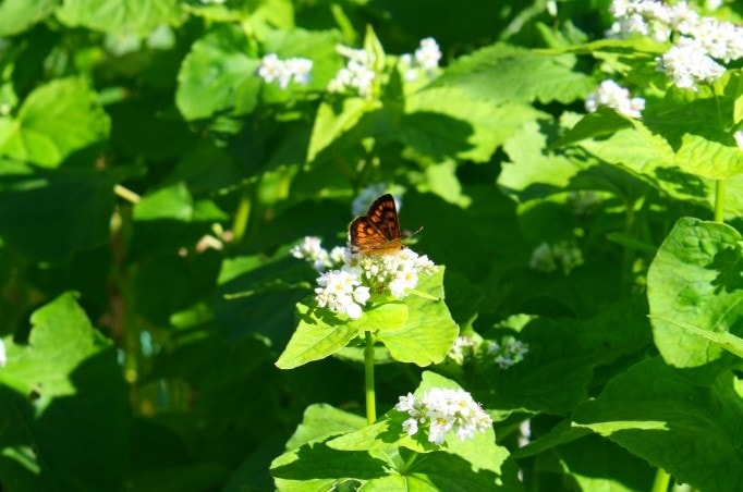 buckwheat and butterfly