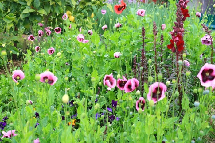 potager poppies at Edible Backyard