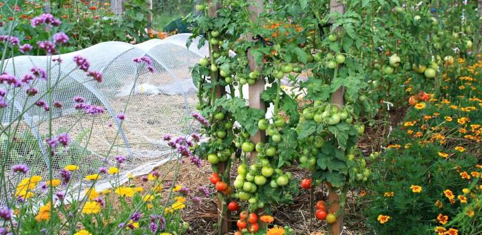 Feb Tomatoes