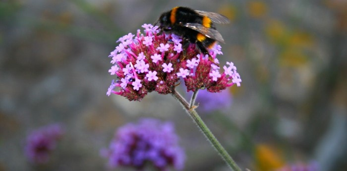 bee on verbena bonaresis