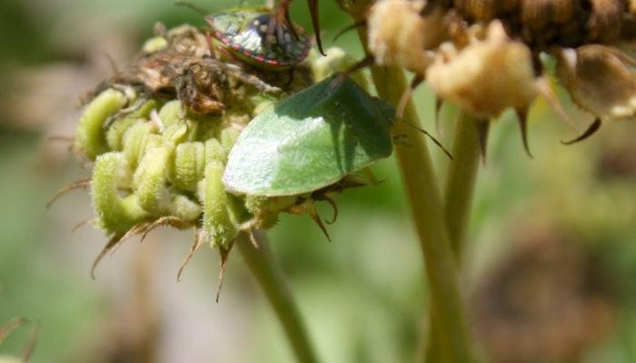 green vegetabl bugs