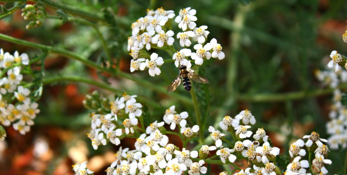hoverfly on yarrow