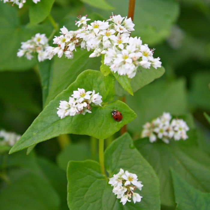 ladybug on buckwheat