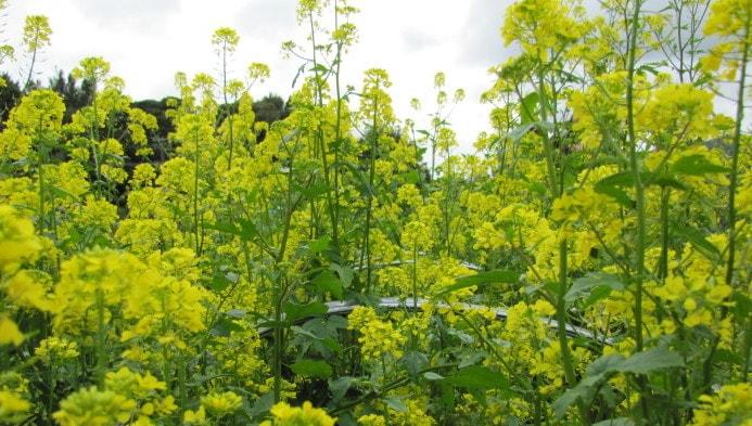 mustard winter greencrop