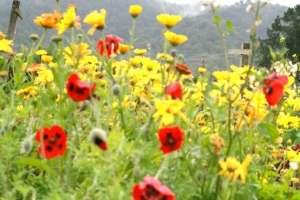 calendula and poppies