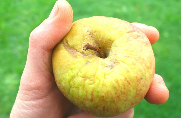 wrinkly apple!