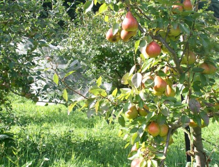 seckle pre harvest