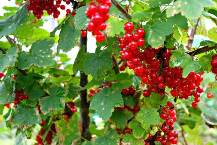 eb0fb7484 Pruning currants makes the wickedest difference to the amount and quality of  fruit because the fruits come on young wood. Left unpruned