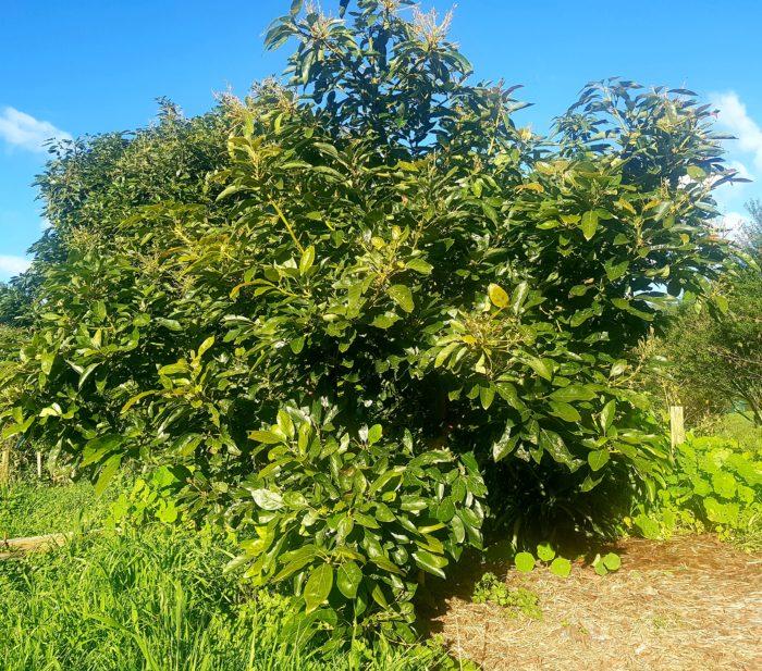 Avocado before prune