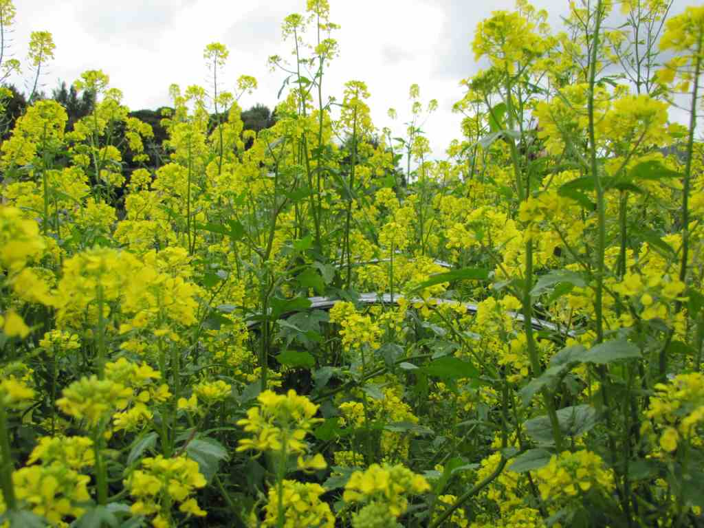 mustard winter greencrop