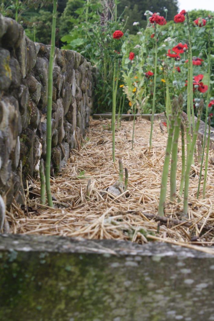 asparaguspatch