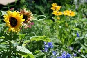 Evening Sun Sunflowers