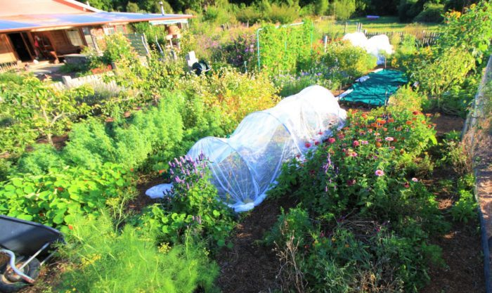 Beautiful sunshine photo of Edible Backyard with a cloche net over the brassicas