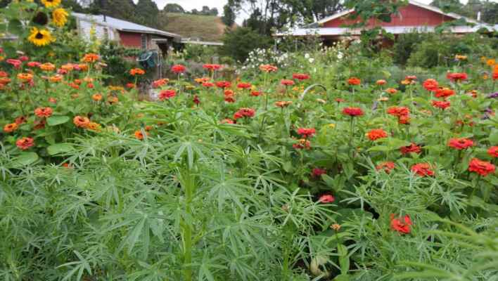 March-in-the-veggie-patch-lupins-zinnia-and-sunflowers-Ediblebackyard-NZ