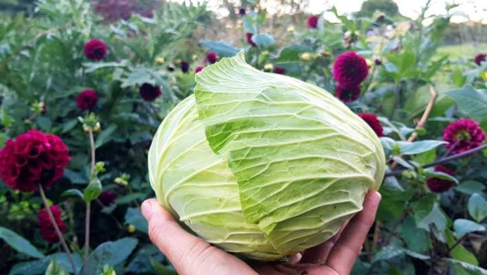 fresh picked homegrown cabbage