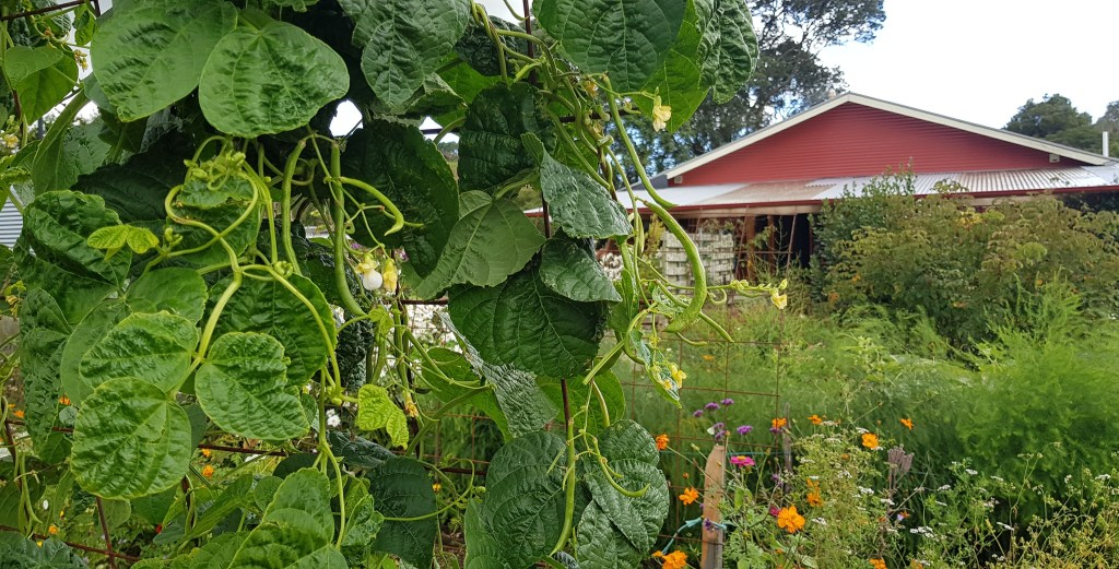 January sown climbing beans keep flowering if ripe beans are picked daily ediblebackyard NZ