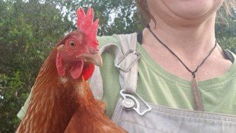 Brown shaver chicken Ediblebackyard NZ
