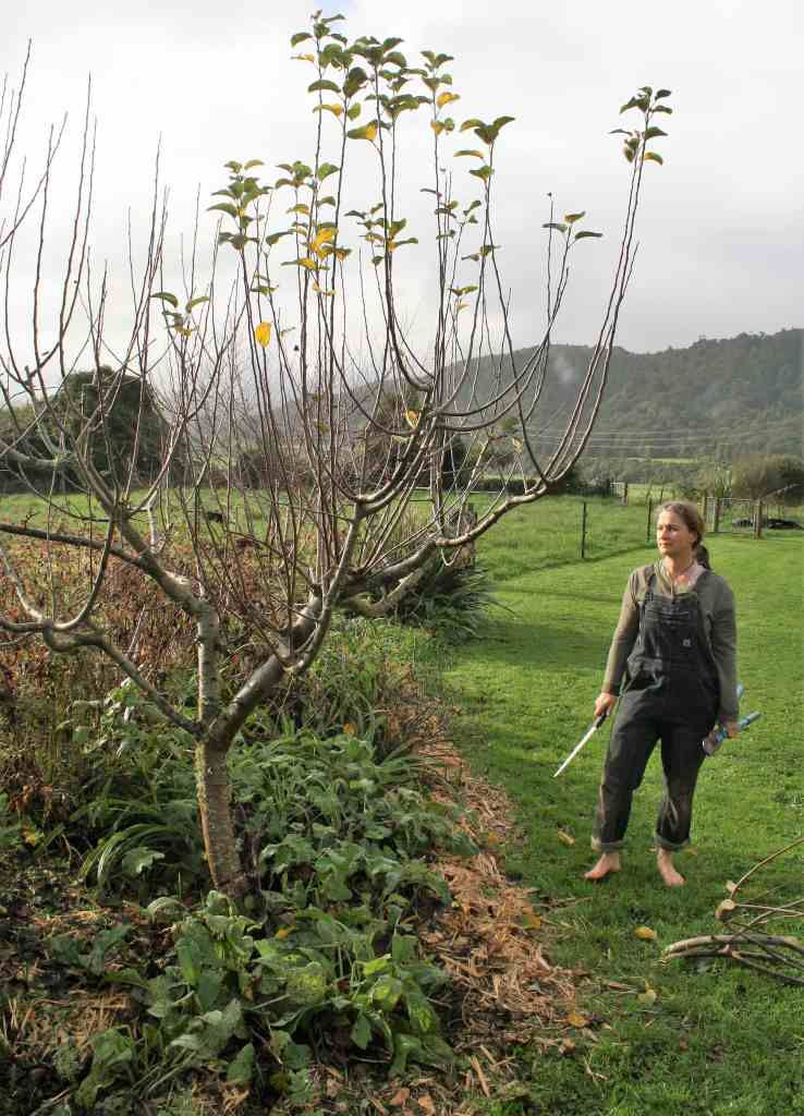 stand back for perspective while pruning fruit trees ediblebackyard nz (3)