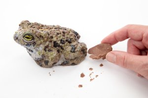 A hand snaps a piece of chocolate from a realistic chocolate natterjack toad. On a white background