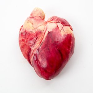 A highly realistic, life size human heart made in chocolate, on white background