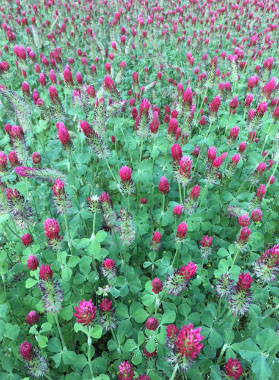 Crimson Clover Pictures Flowers Leaves And