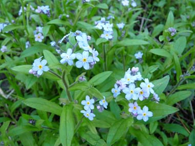 Forget Me Not  Pictures  Flowers  Leaves and Identification         forget me not flower