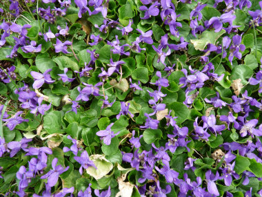 Wild Violet  Pictures  Flowers  Leaves and Identification   Viola         flower violet leaves wild violets