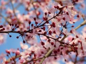 Almendro en flor y botones florales