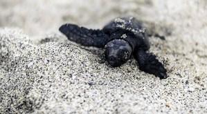 Caretta Caretta. Nate le giovani tartarughe sulla spiaggia di Fondi