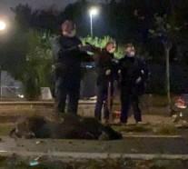 Cinghiali uccisi a Roma