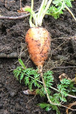 Fresh carrots everytime