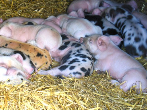 Happy as can be. Piglets at Gorgie Farm
