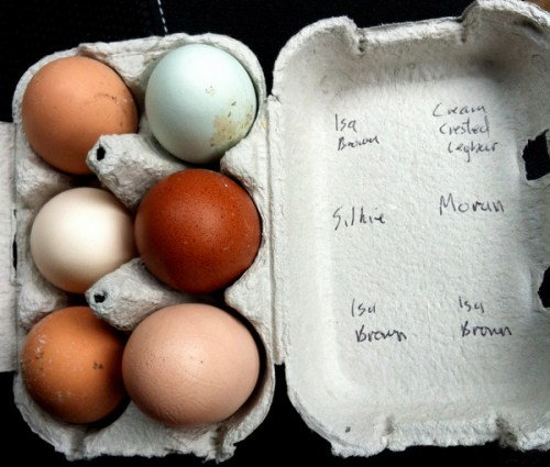 A selection of fresh eggs from Gorgie Farm
