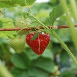 Strawberries, ripe and ripening.