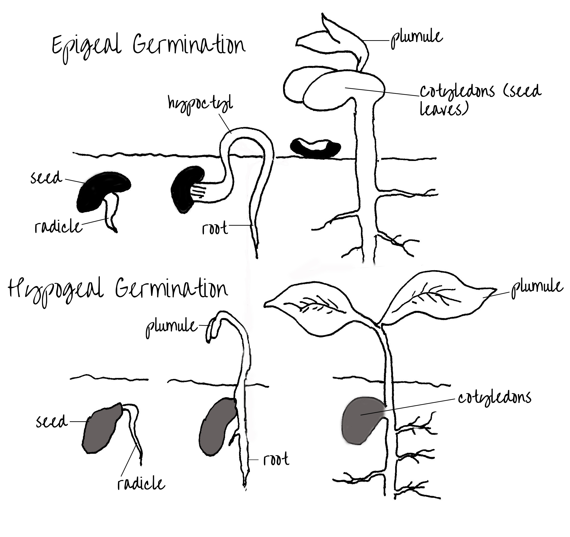 Epigeal And Hypogeal Germination