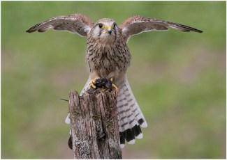 Wild Kestrel with prey by Ann Jeffray