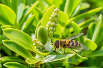Hover fly drinking