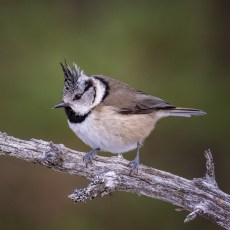 A crested tit.jpg